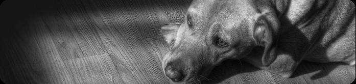 Alimentação para Cães com Anemia