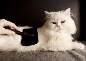 Entenda a necessidade de escovar os pelos do seu gato