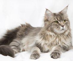 Descubra por que o seu gato ignora quando você chama, e saiba como mudar isso.