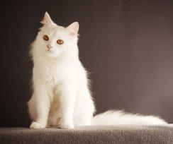Gato branco: Como proteger a pele dele?