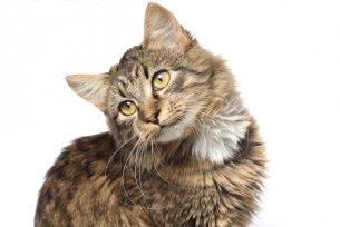 3 soluções para gatos com estômago sensível