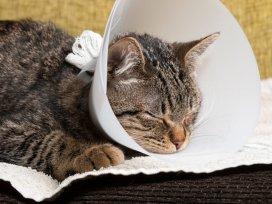 Tudo o que você precisa saber sobre a Lipidose Hepática Felina!