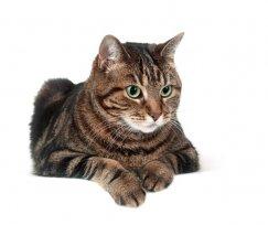 Você conhece a AIDS Felina? Contamos tudo em 4 tópicos!
