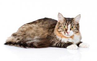 4 coisas que você precisa saber sobre a Leucemia Felina