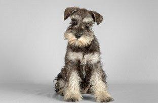 Doenças hepáticas em cães