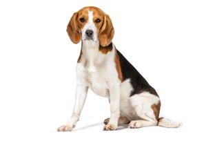 Cães da raça beagle possuem predisposição à obesidade canina