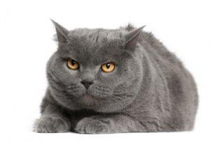 Obesidade em gatos idosos