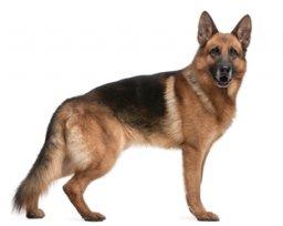 Melhor ração para cachorro pastor alemão