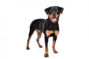 Melhor ração para cachorro Rottweiler