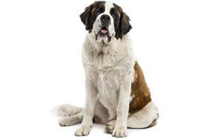Melhor ração para cachorro São Bernardo