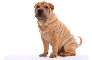 Melhor ração para cachorro Shar-pei