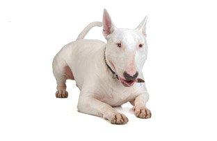 Melhor ração para cachorro Bull Terrier