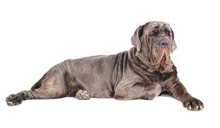 Melhor ração cachorro Mastiff Inglês
