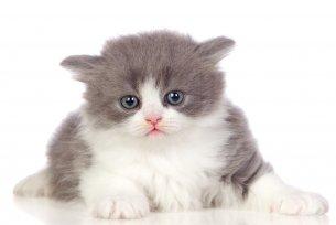 Melhor ração para gato Angorá filhote