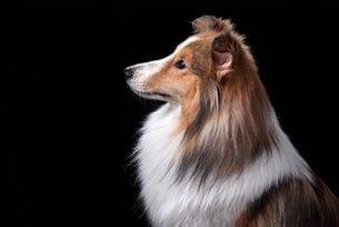 Melhor ração para cães com problemas cardíacos