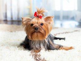 Melhor ração sem corante para cães miniatura