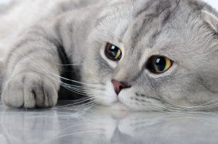 Melhor ração para diabetes em gatos