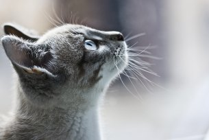 Melhor ração para cistite em gatos