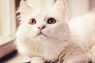 Melhor ração para gato persa castrado
