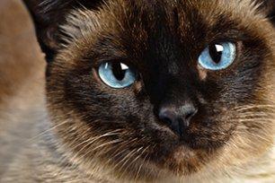 Melhor ração para gato Siamês castrado