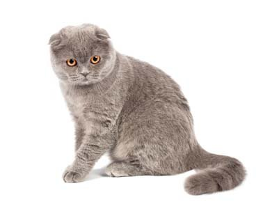 Scottish Short Eared Cats