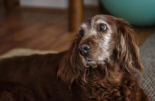Infecci�n Urinaria en perros