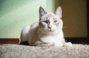 Ca�da de pelos: todo sobre alopecia en gatos