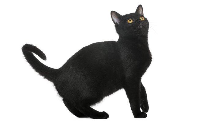 Melhor ra��o para gato Bombay