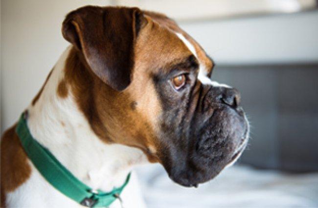 Cachorro de grande porte com displasia coxofemoral