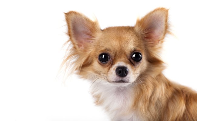 Conhe�a 3 ra�as de cachorros miniatura