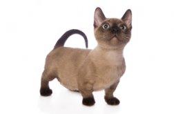 Conhe�a tr�s ra�as de gatos pequenos