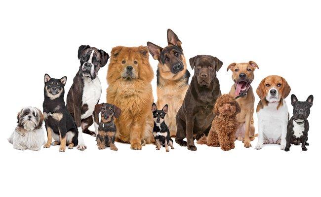 Entenda o que � cinofilia: o estudo de ra�as caninas