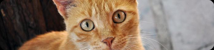 Gatos Diab�ticos: Qual o tratamento?