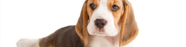 Melhor ra��o para Beagle