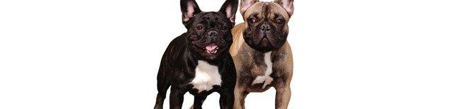 Melhor ra��o para bulldog franc�s