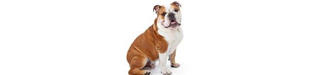 Melhor ra��o para Bulldog Ingl�s