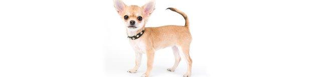 Melhor Ra��o para Chihuahua