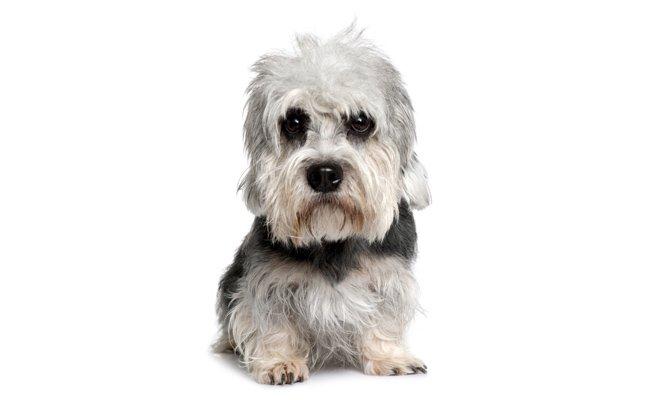 Melhor ra��o para Dandie Dinmont Terrier
