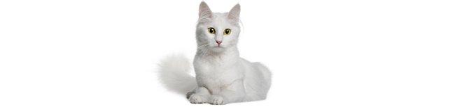 Melhor ração para Gato Angorá