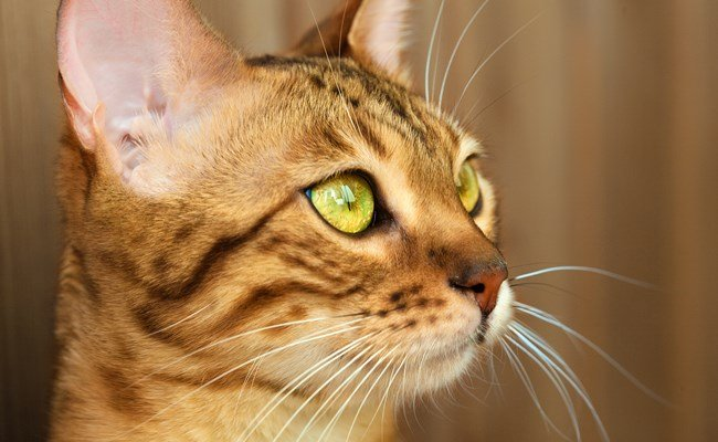Melhor ração para gato Bengal