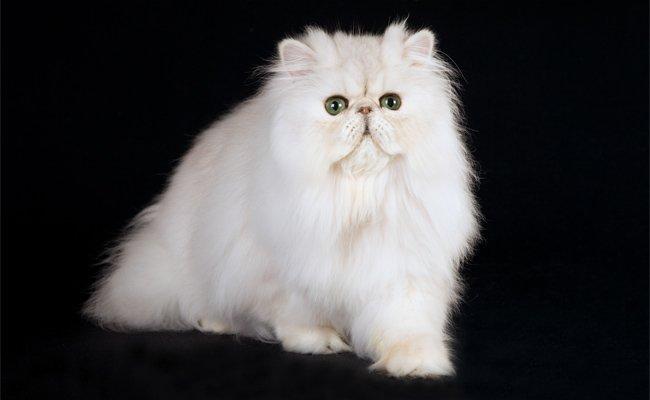 Melhor ração para gato Chinchilla