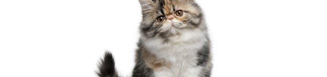 Melhor ra��o para gato persa