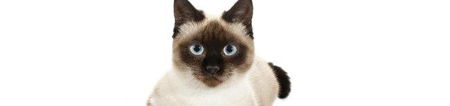 Melhor ra��o para gato siam�s