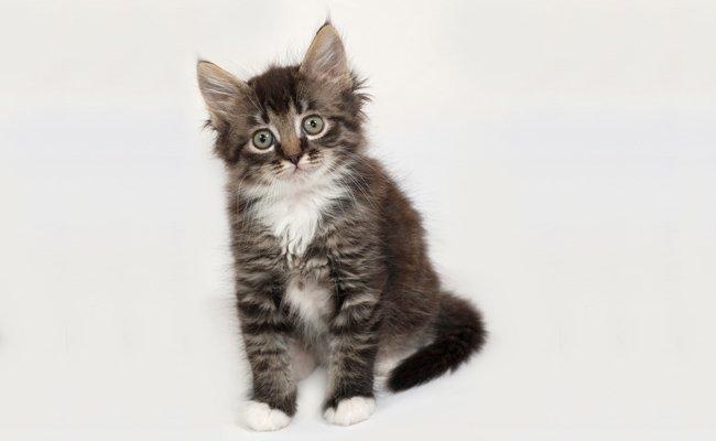 Melhor ra��o para gato Siberiano