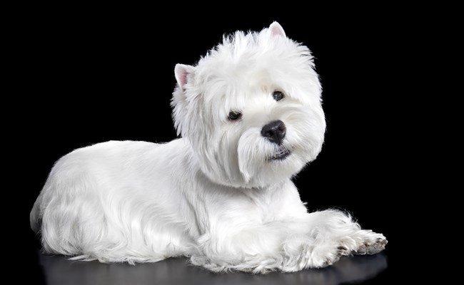 Melhor ra��o para West Highland White Terrier