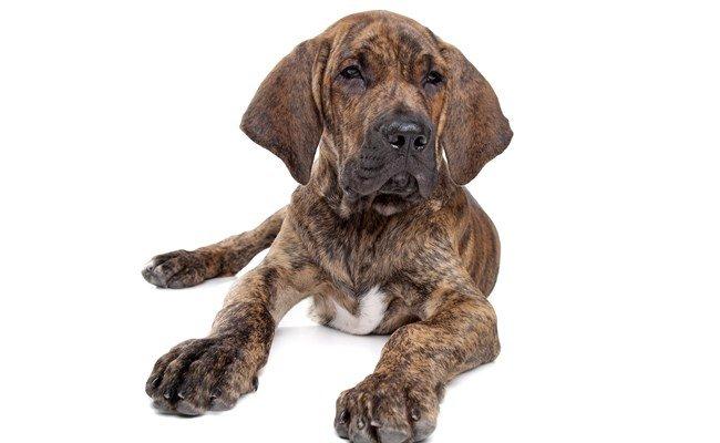 Principais ra�as de cachorros brasileiros