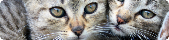 Ra��es para Gatos Castrados