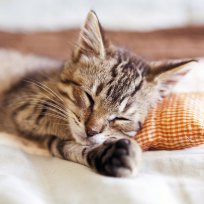 Como escolher a cama ideal para seu gato