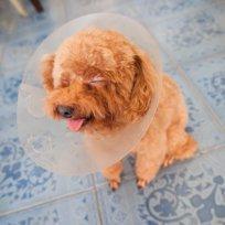 Cuidados no pós-operatório de animais domésticos