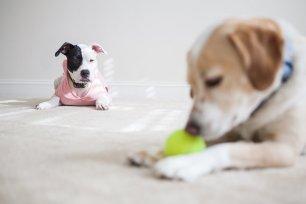 Como lidar com cães ciumentos?